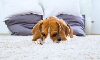 Beagle dog relaxing on the white carpet